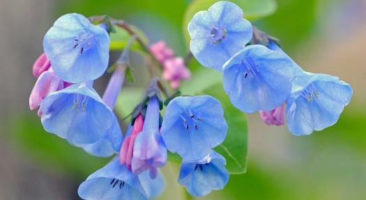 Phil-Sze-bluebells